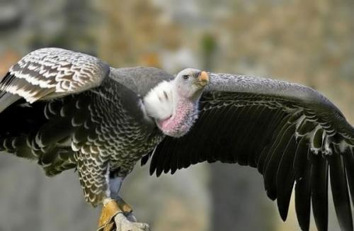 Птицы высоко летают. Какая птица летает выше всех