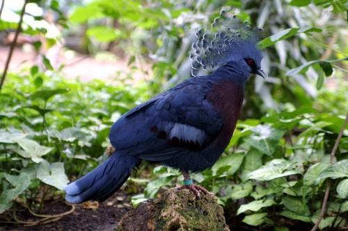 Название красная птица. Самая красочная порода голубиных — Венценосный голубь