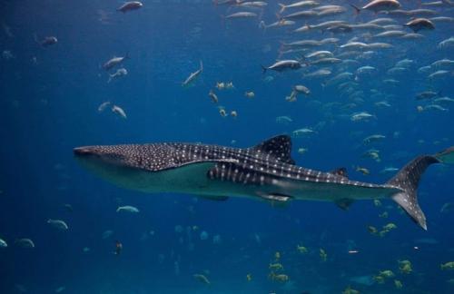 Китовая акула описание. Основные характеристики