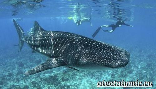 Китовая акула враги. Образ жизни и среда обитаниякитовой акулы