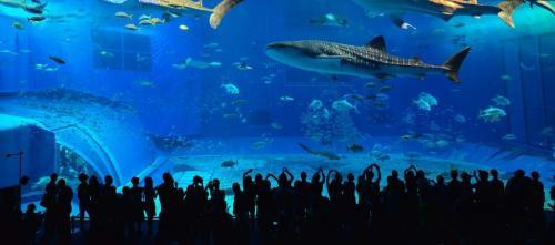 Интересные факты о китовой акуле.