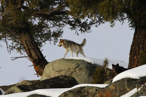 Йеллоустонский парк волки. Как волки восстановили экосистему Йеллоустонского парка