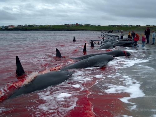 Праздник в Дании убийство дельфинов. Традиции Дании: массовое убийство дельфинов (гринд)