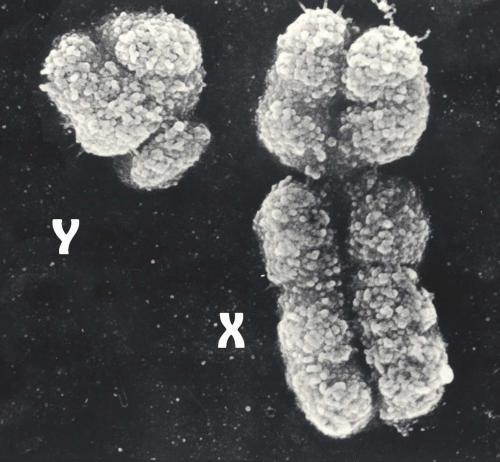 Хромосомы мужчины и женщины. Вырождающаяся Y-хромосома и будущее мужчин