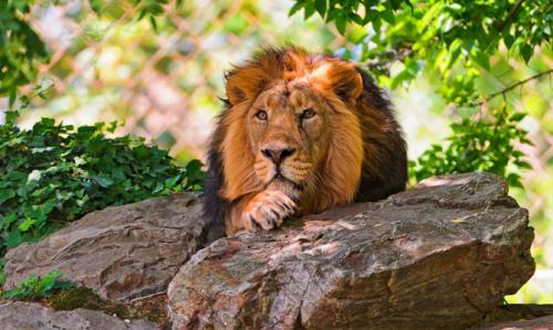 Интересные факты о львах для детей. Интересные факты о львах. Топ 18 фактов