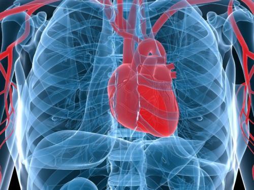 Кровеносная система у человека. Строение сердца