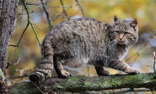 Кавказская лесная кошка краткое описание. Кавказский лесной кот