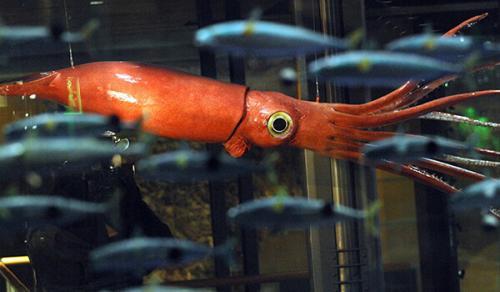 Есть ли глаза у кальмара. Социальная структура и размножение