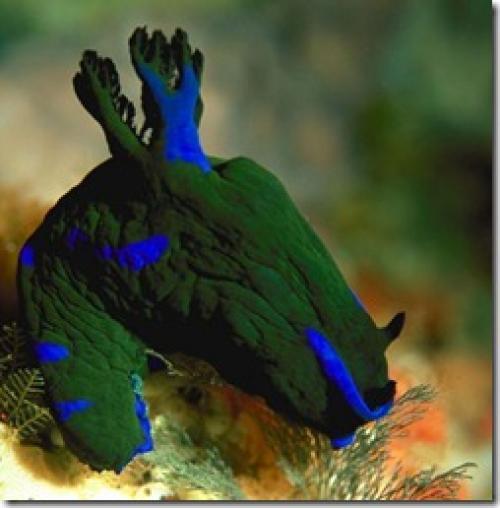 Голожаберные моллюски интересные факты. Интересные факты о моллюсках