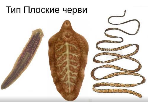 Интересные сведения о червях. Плоские черви — интересные факты