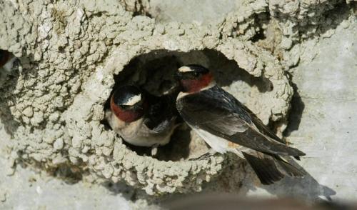 Птица ласточка. Привычки ласточеки среда их обитания