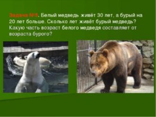 Продолжительность жизни медведя в природе. Какая продолжительность жизни белого медведя в природе и неволе?