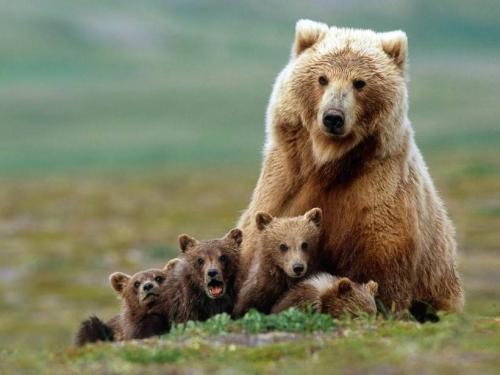 Сколько живет медведь продолжительность. Продолжительность жизни медведей