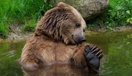 Сколько живет бурый медведь продолжительность жизни.. Описание и особенности