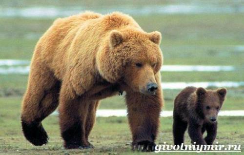 Медведь гризли. Особенности и среда обитания медведя гризли