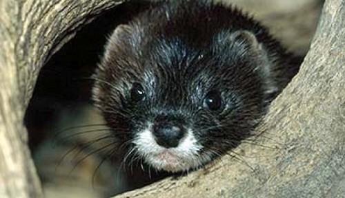 Интересные факты о животных Удмуртии. Животные Красной книги Удмуртии — млекопитающие