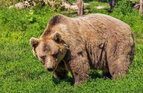 Интересные факты о буром медведе. Бурый медведь — интересные факты