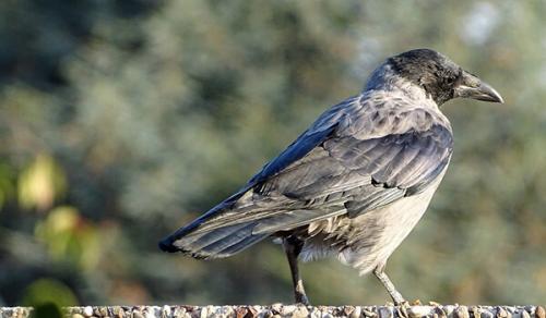 Что ворона делает. Социальная структура и размножение