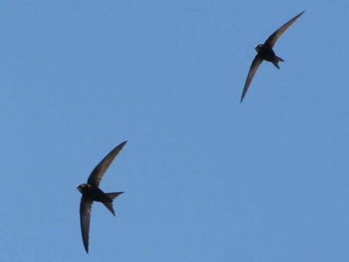 Миграция стрижей. Где живут птицы стрижи, когда они прилетают, как выглядят на фото