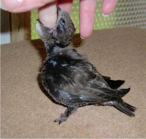 Стриж чем кормить. Черный стриж: чем кормить в домашних условиях птенца и взрослую особь?