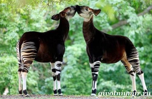 Окапи животное описание. Описание и особенности окапи