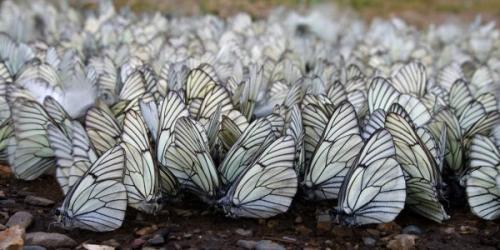 Бабочки необычные факты. Бабочки и самые интересные факты о них