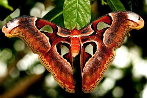 Бабочка Князь тьмы. Князь Тьмы (Павлиноглазка Атлас)