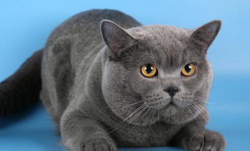 Толстый британский кот. Британские короткошерстные кошки: история возникновения