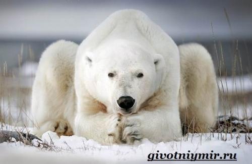 Сколько живут белые медведи. Особенности и среда обитания