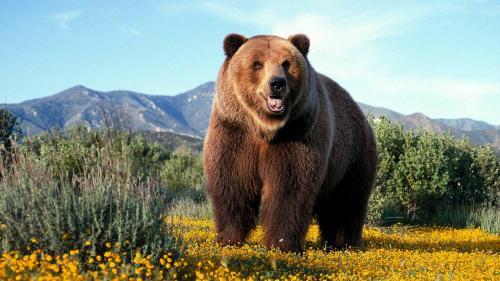 Как долго живут медведи.