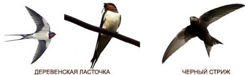 Чем отличается птица ласточка от стрижа. Как отличить стрижа от ласточки?