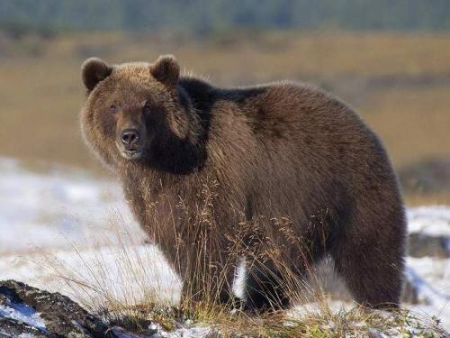 Интересные факты о бурых медведях. Интересные факты о буром медведе
