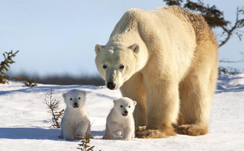 Белый медведь интересные факты. Интересные факты о белом медведе