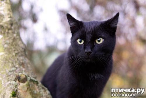 Пушистые черные кошки. Черные кошки: темная история с генетикой, особенности характера и прочая мистика