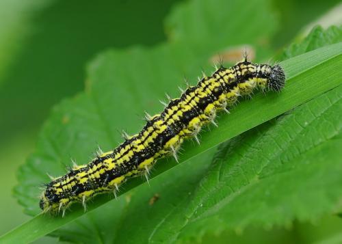 Интересные факты о гусеницах. 10 забавных фактов о гусеницах