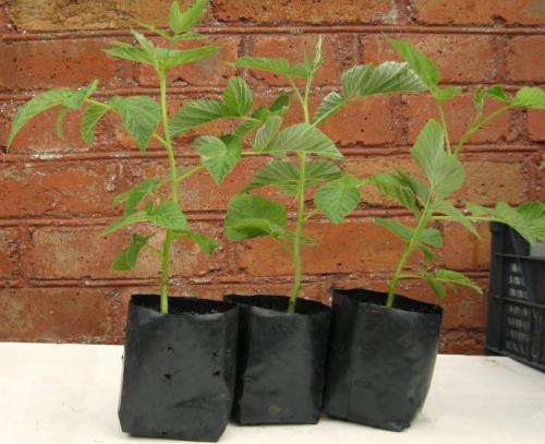 Сколько лет может расти малина на одном месте. Как правильно посадить малину летом: условия, способы и схемы