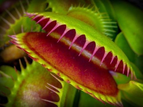 Венерина мухоловка сколько живет. Внешний вид