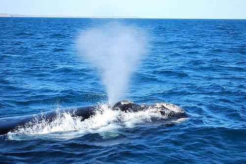 Фонтан у кита, как называется. Почему у кита бьет фонтан