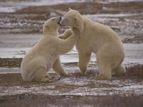 Сколько живет медведь? Сколько лет живут медведи