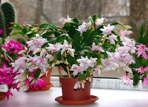 Декабрист цветок, как ухаживать. Немного о растении