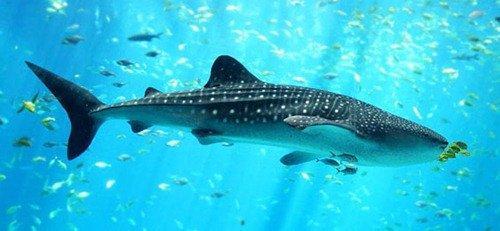 Факты о акулах-коротко. Интересные факты об акулах