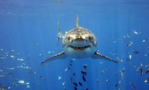 Информация о большой белой акуле кархародон. Большая белая акула – кархародон или акула-людоед: описание с фото и видео, физические данные, размер зубов, длина.