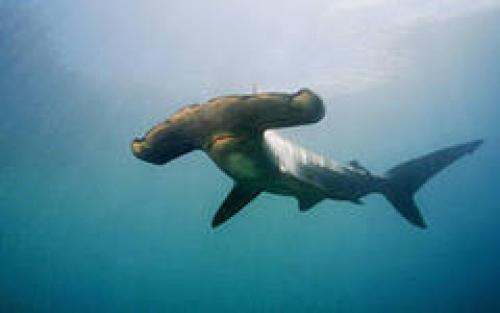 Описание акулы для детей. Акула Доклад к теме Обитатели водоемов