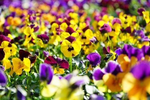 Уход за домашними цветами в домашних условиях фиалка. Уход за фиалками