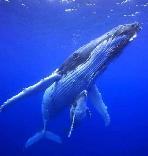 Как кормит кит детеныша. Как киты кормят своих детенышей?