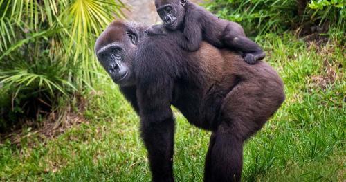 Сколько горилла может поднять. Скорость гориллы при беге