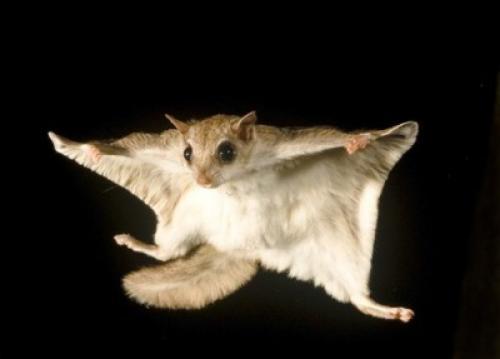 Интересные факты белка летяга. 10 любопытных фактов о белке-летяге («Fact») Белка-летяга — очень интересное создание, напоминающее летучую мышь, только очень милую