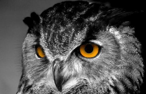Где зимуют совы и филины. Филин – красивая ночная птица