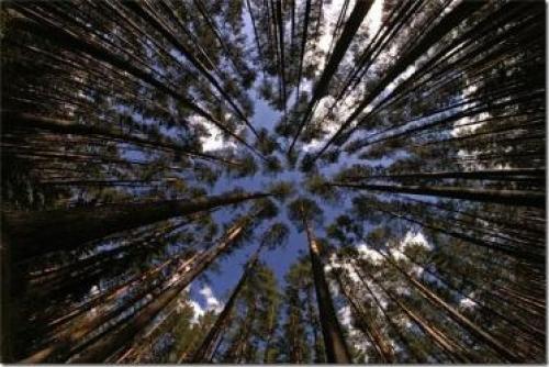 Самый большой лес в мире находится. Самый большой лес в мире
