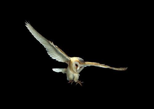 Земляная сова. Как выглядят совы